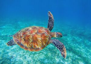 A1-Beautiful-Ocean-Turtle-Poster-Art-Print-60-x-90cm-180gsm-Cool-Fun-Gift-14587