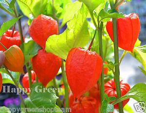 CHINESE-LANTERN-320-seeds-PHYSALIS-ALKEKENGI-Perennial-Flower