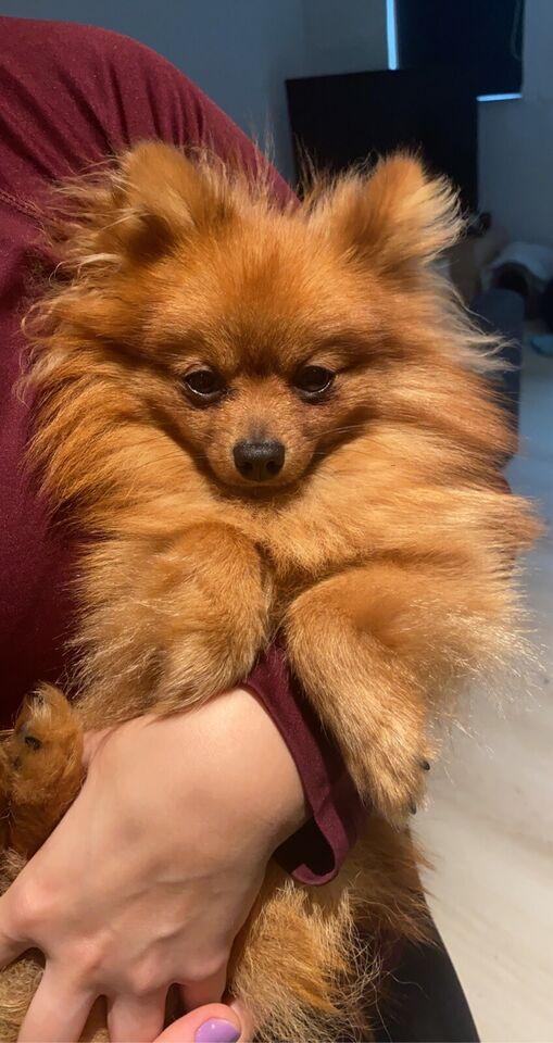 Pomeranian , hund, 2 år