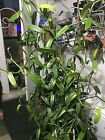 Vanilla Bean Orchid Each Plant 14+ Inches or Larger. 2 cured beans included!