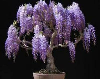 6 X Chinese Wisteria Tree Seeds Tree Seeds That Can Be Used For Bonsai Ebay