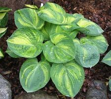 """HOSTA ICE AGE TRAIL'~White Bloom~ """"Plantantain Lily"""" 15+ Perennial Seeds"""