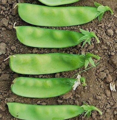 50 Organic Oregon Giant Snow Peas ~ Open Pollinated Seeds ~ HUGE!