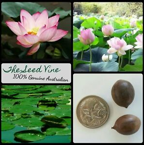 5 sacred lotus seeds nelumbo nucifera pink water lily indian holy image is loading 5 sacred lotus seeds nelumbo nucifera pink water mightylinksfo