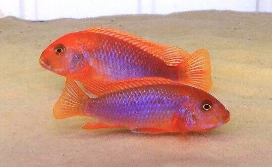 6 (sei) x iodotropheus sprengerae (dei ciclidi del lago Malawi)
