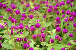 Garten-Pflanzen-Samen-winterharte-Zierpflanze-Saatgut-Kraeuter-KUGELAMARANT