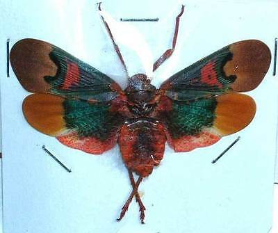 SCAMANDRA TETHYS - unmounted insect