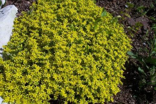 200 GOLDEN ACRE SEDUM STONECROP GOLD MOSS Flower Seeds