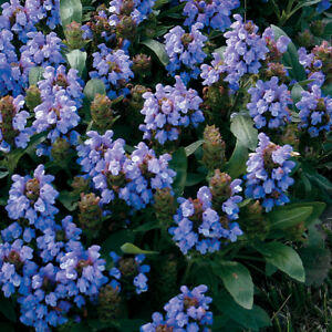 30 prunella bella blue flower seed ground cover perennial ebay image is loading 30 prunella bella blue flower seed ground cover mightylinksfo