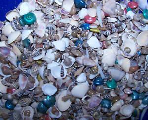 9000-TINY-SEA-SHELLS-CRAFT-SEASHELLS-no-starfish-wow