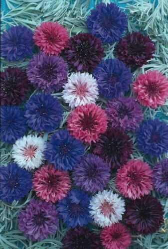 1000 Seeds Cornflower Crown Double Strain Mixed Flower Large Packet