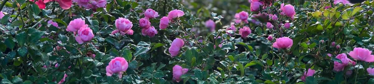 countrygardenroses