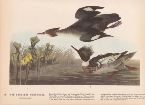 "1942 Vintage AUDUBON BIRDS #401 /""RED BREASTED MERGANSER/"" Color Art Plate Litho"