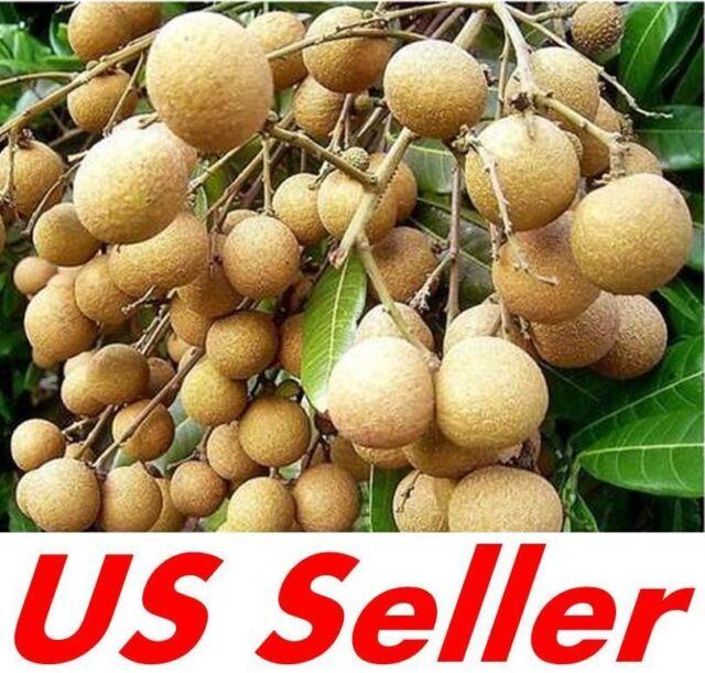 10 PCS Dimocarpus Longan Seeds E8, Dragon Eye Fruit Sweet Delicious US Seller