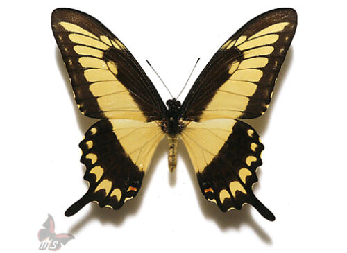 phanias,UNMOUNTED butterfly Papilio lycophron ssp