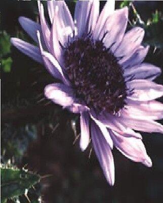 FLOWER - BERKHEYA PURPUREA - 10 SEEDS