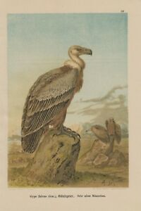 Gaensegeier-Gyps-fulvus-LITHOGRAPHIE-1899-Falcon-GEIER-Greifvogel