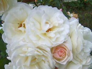 PROM-QUEEN-Old-Garden-Antique-Own-Root-Climbing-Rose-Double-White-Repeat-Bloomer
