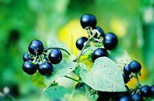 8 graines de MORELLE OGOMO (Solanum Melanocerasum)G184 WONDERBERRY SEEDS SAMEN