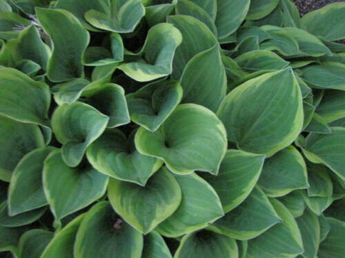 Lot of 6 Grand Tiara Hosta two tone plant green inner with lighter outer edges