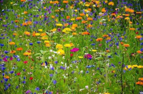Kräuterwiese über 60 heimische Wildkräuter Natur pur bienenfreundlich