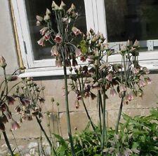 20 Seeds *Nectaroscordum Siculum *Allium Mediterraneum Bells* Tall & Fragrant