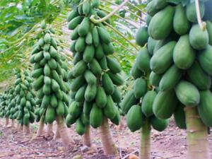 100 Super Sweet Big Papaya Fruit Seeds Non Gmo Potted Bonsai Fruit Tree Seeds Ebay