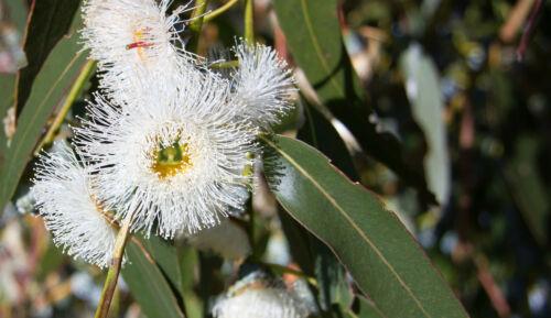 60 freschi semi Eucalyptus-Eucalyptus deglupta