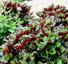 LIGULARIA ORISIS RED SERRATED Leopard Perennial Ragwort Elephant Ear 30 Seed