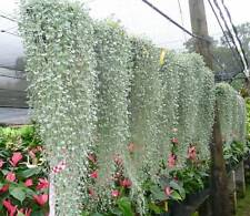 8 Seeds Silver Falls Dichondra Argentea Kidney Weed Ponys Foot Cascading Pot