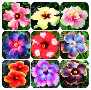 Giant Hibiscus Flower Seed Malvaceae Bonsai Seed Home Garden Flower