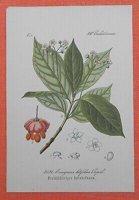Breitblättriger Spindelbaum Spillbaum Spindelstrauch Lithographie 1885