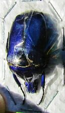 Lot of 10 Flower Beetle Torynorrhina flammea flammea Violet FAST SHIP FROM USA