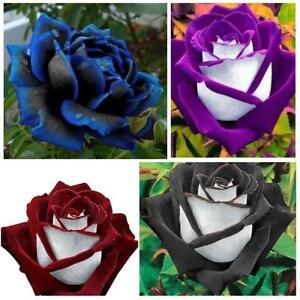 250-x-Lover-Charming-Seeds-Rare-Garden-Osiria-Rose-Seeds-DIY-Garden