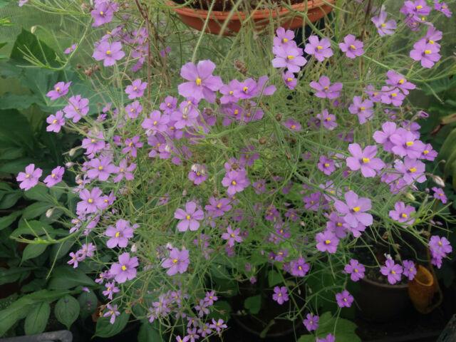 Byblis liniflora fleischfressende Pflanze Rarität Drosera, Nepenthes, Dionaea