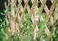 Expanding-Natural-Wooden-Trellis-Climbing-Plants-Fence-Panel-Screening-Lattice thumbnail 1