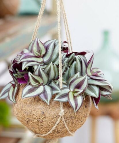 5x Cuttings and ROOTED Tradescantia Zebrina pendula Wandering Jew-Purple Queen