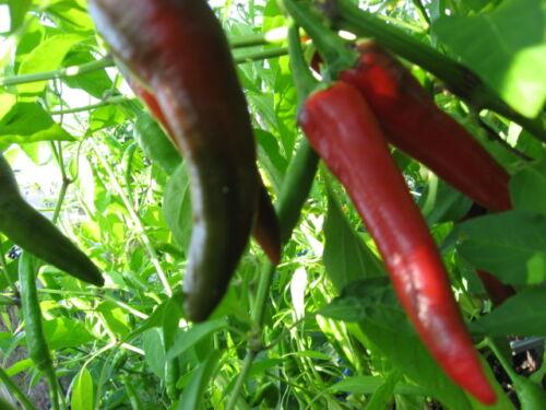 /_AKTION/_  Chili schwarz-rot abreifend Schärfe 10 feurig scharf  einjährig essbar
