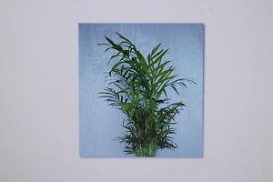 10 samen chamaedorea elegans bergpalme palme pflanze 6. Black Bedroom Furniture Sets. Home Design Ideas