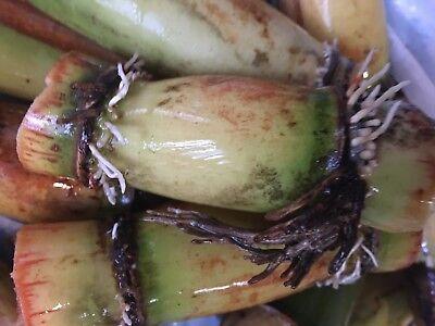 Black Red Sugarcane Plants Organic 6 Germinated Sugar Cane Perennial Plants