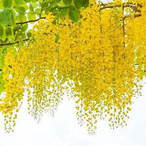Garten-Pflanzen-Samen-Blume-Zierpflanze-Saatgut-Rankpflanke-GOLDREGEN