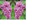 "thumbnail 2 - Hardy Old Fashion Purple Lilac 25""-30"" Transplants"