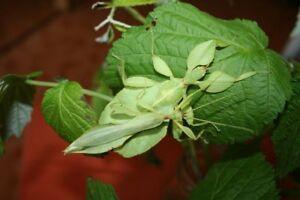 PHYLLIUM-PHILIPPINICUM-12-Huevos-Eggs-Stick-insect-Insecto-hoja-Fasmidos