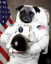 Pug Dog Puppy as Astronaut 8 x 10 Photo Picture