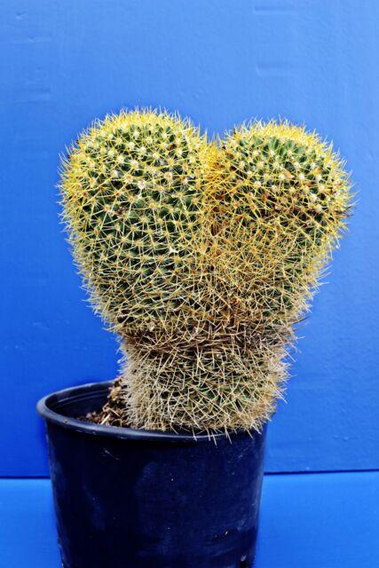 MAMMILLARIA PRINGLEI v18 Mammillaria rhodantha pianta in vaso plant Cactus