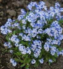 Cynoglossum Blue Forget- me-not 25+ seeds- mounding plants great in containers