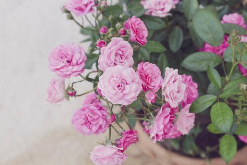Rare Pink Miniature Baby Roses 3-4 Fresh Cuttings Climbing Flower w// Rooting Kit