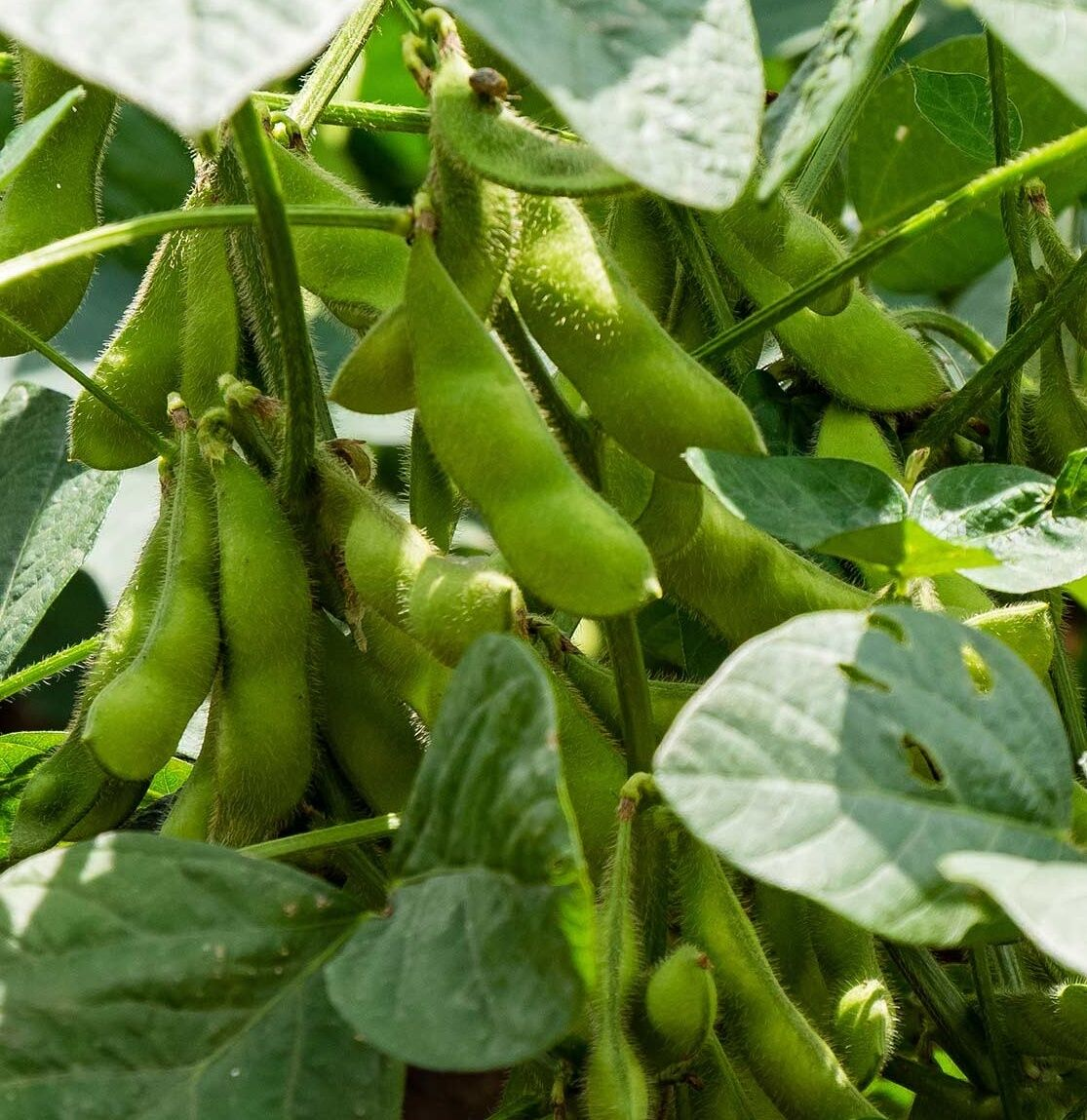 Sojabohne Samen, Edamame seeds, Sorte MERLIN, Ökosaatgut, früheste Sorte