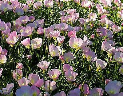 PINK EVENING PRIMROSE 150 seeds Oenothera speciosa flower garden GROUND COVER