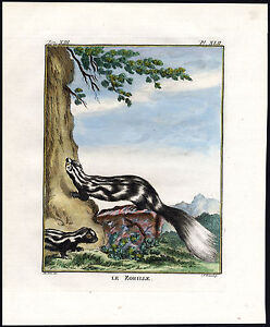 Antique-Print-STRIPED-POLECAT-ICTONYX-STRIATUS-Fritsch-De-Seve-1755